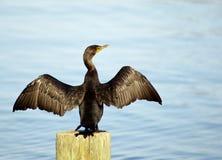 Grande cormorano Spreadings le sue ali fotografia stock libera da diritti