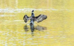 Grande cormorano in un lago Fotografia Stock Libera da Diritti