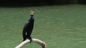 Grande Cormorant stock footage