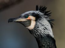 Grande Cormorant fotos de stock royalty free
