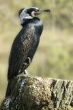 Grande cormorant Fotografie Stock