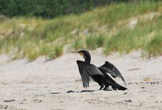 Grande Cormorant Fotografia de Stock