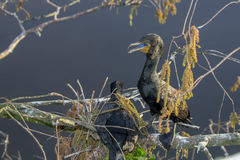 Grande Cormorant Immagine Stock