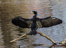Grande Cormorant Imagens de Stock