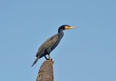 Grande Cormorant (carbo del Phalacrocorax) Fotografia Stock Libera da Diritti