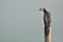 Grande Cormorant (carbo del Phalacrocorax) Fotografie Stock