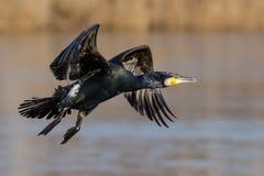 Grande Cormorant (carbo del Phalacrocorax) Immagine Stock Libera da Diritti