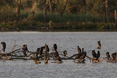 Grande Cormorant che si siede negli ultimi raggi di luce Immagine Stock Libera da Diritti