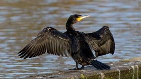 Grande cormorant preto Fotos de Stock Royalty Free