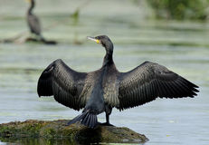 Grande Cormorant/Shag preto Imagem de Stock