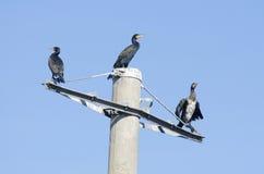 Grande Cormorant/Shag preto Fotos de Stock Royalty Free