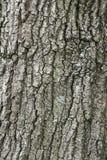 Grande corteccia di albero della quercia Fotografie Stock Libere da Diritti