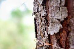Grande corteccia di albero veduta dalla fine su immagine stock libera da diritti
