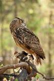 Grande coruja Horned Fotografia de Stock Royalty Free