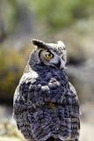 Grande coruja Horned fotografia de stock