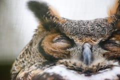 Grande coruja Horned fotos de stock