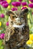 Grande coruja Horned com Tulip Background Foto de Stock Royalty Free