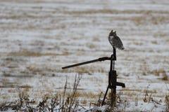 Grande coruja Horned nas pradarias Foto de Stock