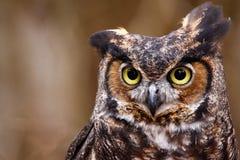 Grande coruja Horned Quizzical engraçada bonito Fotos de Stock