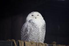 Grande coruja nevado foto de stock