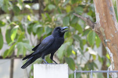 Grande corvo da conta Imagens de Stock Royalty Free