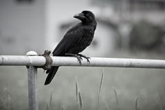Grande corvo fatturato giapponese Fotografia Stock Libera da Diritti