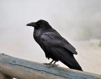 Grande corvo nero Fotografie Stock Libere da Diritti