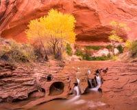 Grande cottonwood do outono sobre a cachoeira de conexão em cascata Fotos de Stock