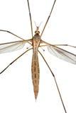 Grande Cranefly foto de stock
