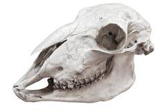 Grande cranio dell'uccello Immagini Stock Libere da Diritti