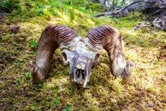 Grande cranio delle pecore del corno Immagini Stock Libere da Diritti