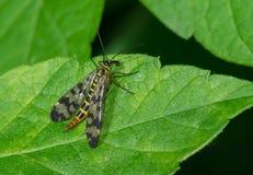 Grande creatura del tipo di vespa che ha un pasto Fotografia Stock