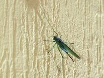 Grande cricket verde della cavalletta su una parete della casa Immagini Stock Libere da Diritti