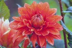 Grande crisantemo arancio che cresce nel giardino fotografie stock libere da diritti