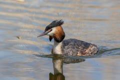 Grande cristatus do Podiceps do mergulhão com crista em produzir a plumagem fotos de stock royalty free