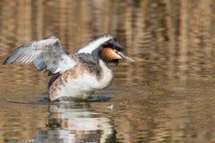 Grande cristatus do Podiceps do mergulhão com crista em produzir a plumagem foto de stock