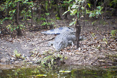 Grande crocodilo da água de sal foto de stock