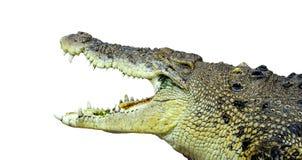 Grande crocodilo masculino isolado fotografia de stock royalty free