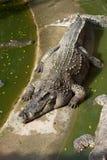 Grande crocodilo que descansa no sol Fotografia de Stock