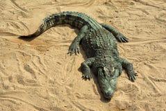 Grande crocodilo que descansa no sol Imagens de Stock Royalty Free