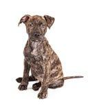 Grande cucciolo di cane striato adorabile della razza Fotografie Stock Libere da Diritti
