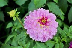 Grande dalia rosa con il petalo rosso, il piccolo germoglio giallo e le foglie verdi Fotografie Stock