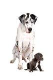 Grande danese e pup del Harlequin fotografie stock libere da diritti
