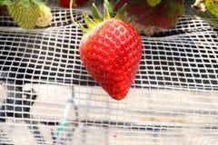 Grande de la sola fresa da fruto en la rama en granja de la fresa Fotos de archivo