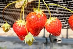 Grande de tres frutas de la fresa en la rama en granja de la fresa Imágenes de archivo libres de regalías