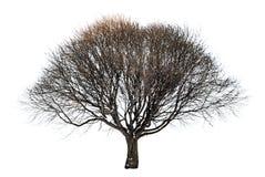 Grande descubra el árbol aislado del invierno foto de archivo
