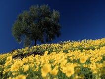 Grande di olivo nel giacimento di fiori Immagini Stock