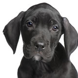 Grande dinamarquês do filhote de cachorro (2 meses) Imagens de Stock Royalty Free