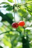 Grande dolce e sugoso ciliege Immagini Stock Libere da Diritti