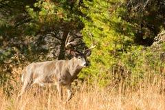 Grande dollaro dei cervi dalla coda bianca Fotografia Stock